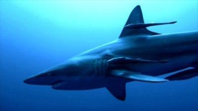 Shark seen through sharkproof, shark proof cage