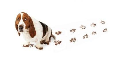 Dirty Dog Paws, Hound Dog Sitting on Floor with Muddy Footprint Trail