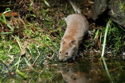 Mystery Smell, Field Mouse Drinking Water