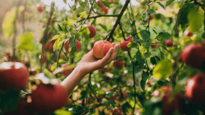 Area Won't Support Cleaning hand picking an apple from tree