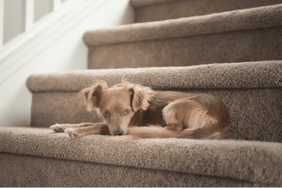 How to Clean Stairs, Dog on Stairs